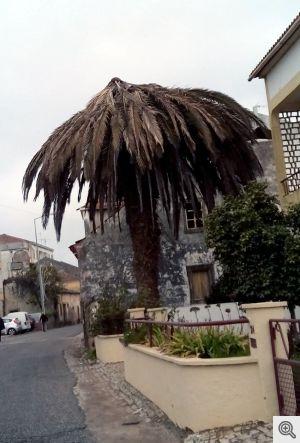 Palmeira doente